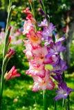 Gladioluses Stock Image