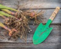 Gladioluskulor på en trätabell Royaltyfri Foto