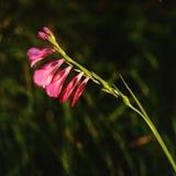 gladiolustenuis Royaltyfri Bild