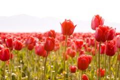 Gladlynt fjädra röda tulpan royaltyfri bild