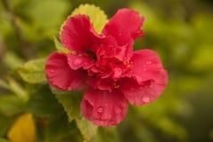 Gladlynt rosa färgblomma med dagg Royaltyfria Foton