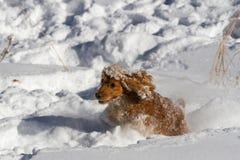 Gladlynt spaniel i snön royaltyfria bilder