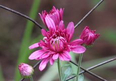 Gladlynta ljusa rosa tusenskönor mot ett gammalt rostigt staket royaltyfri fotografi