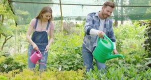Gladlynta par som bevattnar växter i drivhus stock video