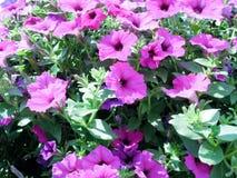 Gladlynta purpurfärgade petunior Arkivfoton