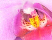 Gladlynta rosa rufsade kronblad för japansk anemon - och mitt av glimma guld t?t blommapink upp royaltyfri fotografi