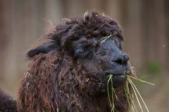 Glama лама ламы стоковое фото rf