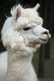 Glama лама ламы стоковые фото