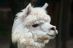 Glama лама ламы стоковая фотография