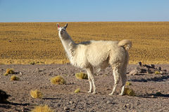 Glama лама ламы стоковые изображения
