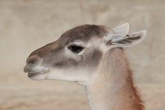 Glama лама ламы Стоковое Изображение RF