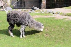 Glama лама пасет в выгоне на день весны солнечный Guanicoe лама семьи верблюда Стоковые Фотографии RF