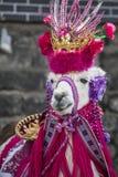 Glama лама - характерное животное Ipiales стоковые фотографии rf