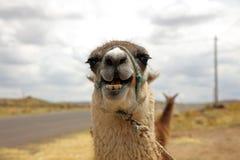 Glama de Lama Lama au Pérou photographie stock