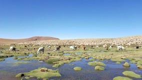 Glama de lama de lamas tôt le matin à la haute altitude en Bolivie banque de vidéos