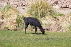 Glama na vila de Caspana, o Chile da Lama do lama foto de stock royalty free