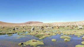Glama van de lama'slama vroeg in de ochtend bij hoge hoogte in Bolivië stock video