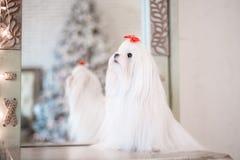 Glamoröst vitt maltesiskt i en stilfull inre arkivfoton