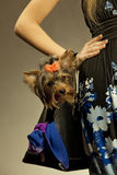 Glamor woman with Yorkshire Terrier Royalty Free Stock Photo