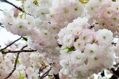Glamorous cherry blossoms Stock Photo