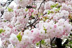 Glamorous cherry blossoms Royalty Free Stock Photography