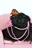 Glamorous chicken of Cochin China breed Royalty Free Stock Image
