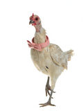 Glamorous chicken with pink bow tie walking Stock Image