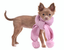 Glamorous chihuahua puppy with pink scarf Royalty Free Stock Photo