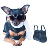 Glamorous dog isolated. Toy Terrier. Spring theme, a dog in a sc. Arf, with a bag and sunglasses Royalty Free Stock Images