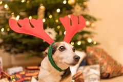 Glamorous Jack Russell Terrier in front of christmas tree. royalty free stock photography