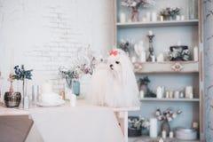 Glamorous white Maltese in a stylish interior. stock photos