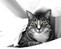 Glamour Cat. Black and white image of a cat with selective coloring of eyes,draped in white sheet Royalty Free Stock Photo