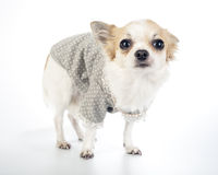 Glamour Chihuahua dog wearing fashion dress. Chihuahua dog wearing fashion dress with pearl necklace standing on white background Royalty Free Stock Photos