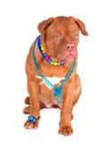Glamour Dog Royalty Free Stock Photos
