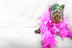 Glamour dog. Adorable Yorkshire Terrier glamour dog wearing a pink feather boa Stock Photo