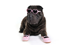 Glamour Dog in Glasses. And Shoes Royalty Free Stock Photo