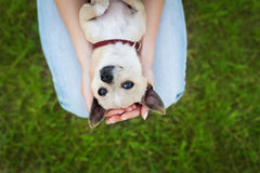 Glamour girl or woman holding cute funny chihuahua puppy dog on green lawn on the sunset Stock Photo