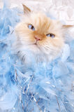 Glamour Kitty. Lexus the cat gives us her diva look with her blue boa of feathers Stock Photography