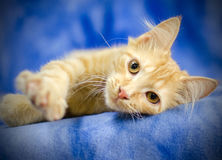 Glamour Kitty. Studio photo of adoptable kitten at the animal shelter Royalty Free Stock Photo