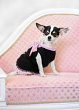 Glamour little dog on sofa. In clothes Stock Photography