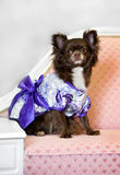Glamour little dog on sofa Stock Images