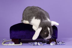 Glamour mini-lop rabbit Stock Image