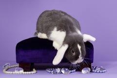 Glamour mini-lop rabbit. On purple background Stock Image