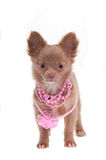Glamour puppy Stock Image