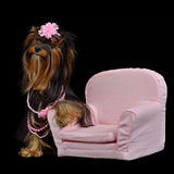 Glamour Yorkie dog among pink items. Isolated on black Royalty Free Stock Photography