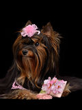 Glamour Yorkie dog with pink items. Isolated on black Stock Photography