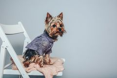 Glamour Yorkie Dog Sitting on the Chair on the Left Side of the Photo. Glamour Yorkie Dog Sitting on the Chair on the Left Side of the Photo Royalty Free Stock Image