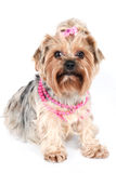 A glamour yorkshire in pink necklace. A brown yorkshire terrier in pink necklace and pink bow isolated on white Stock Photo