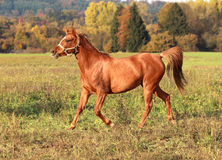 Glamourous Arabian mare Royalty Free Stock Images