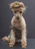 Glamourous Leopard Print Poodle Royalty Free Stock Photo